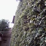 Taman minimalis untuk rumah di hook dengan tanaman Ficus pumila